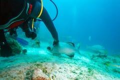 Mergulhador, garoupa grande de alimentação com lagosta, Cuba fotografia de stock royalty free