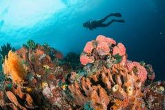 Mergulhador, recife de corais, esponja, fã de mar em Ambon, Maluku, foto subaquática de Indonésia Foto de Stock