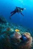Mergulhador sobre o anemone com palhaço maldivo, Maldives Imagem de Stock