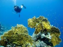 Mergulhador sobre o coral do incêndio Fotografia de Stock Royalty Free