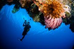 Mergulhador, sp de Xestospongia da esponja do tambor em Banda, foto subaquática de Indonésia Imagem de Stock Royalty Free