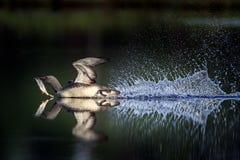 mergulhador Vermelho-throated e a captura de peixes Fotografia de Stock
