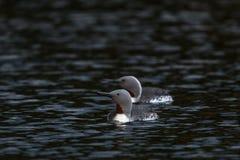 mergulhador Vermelho-throated em um lago foto de stock royalty free