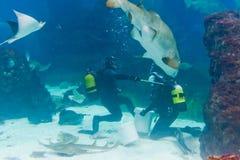 Mergulhadores com o tubarão de tigre da areia Fotografia de Stock Royalty Free