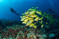 Mergulhadores e escola de carangas listradas azuis Fotos de Stock Royalty Free