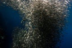 Mergulhar com escola das sardinhas fotos de stock royalty free