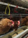 Mergulhe o alojamento da exploração agrícola, a incubação do ovo ou os ovos da galinha foto de stock