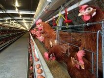 Mergulhe o alojamento da exploração agrícola, a incubação do ovo ou os ovos da galinha fotos de stock