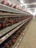 Mergulhe o alojamento da exploração agrícola, a incubação do ovo ou os ovos da galinha imagem de stock