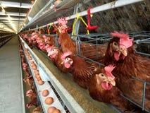 Mergulhe o alojamento da exploração agrícola, a incubação do ovo ou os ovos da galinha imagem de stock royalty free