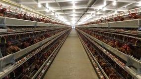 Mergulhe o alojamento da exploração agrícola, a incubação do ovo ou os ovos da galinha fotografia de stock royalty free