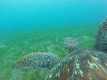 Mergulho autônomo da tartaruga de mar imagem de stock royalty free
