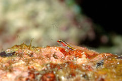 Mergulho autônomo colorido pequeno de aceh Indonésia dos peixes Imagens de Stock Royalty Free