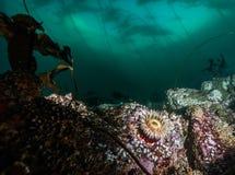 Mergulho autônomo no Columbia Britânica Foto de Stock Royalty Free