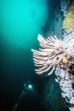 Mergulho autônomo no Columbia Britânica Foto de Stock