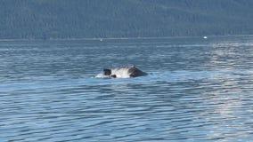 Mergulho da baleia de corcunda video estoque