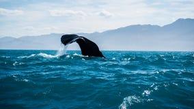 Mergulho da baleia de esperma Fotografia de Stock