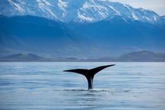Mergulho da baleia de esperma abaixo da água imagem de stock