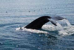 Mergulho da baleia de Humpback Foto de Stock Royalty Free