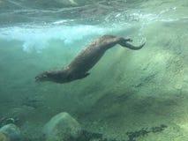 Mergulho da lontra de rio na água escura que nada debaixo d'água com as rochas e a sujeira agitadas acima foto de stock