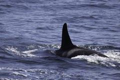 Mergulho da orca no mar Imagens de Stock Royalty Free