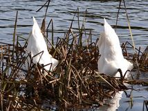 Mergulho das cisnes imagem de stock