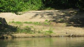 Mergulho das tartarugas em um lago vídeos de arquivo