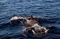 Mergulho do golfinho de Bottlenose de novo no oceano Foto de Stock Royalty Free