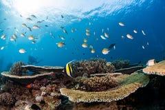 Mergulho do mergulhador do recife de corais e dos peixes em maldives Fotografia de Stock Royalty Free