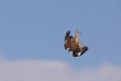 Mergulho do papagaio no céu Imagens de Stock Royalty Free