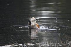Mergulho do pato Foto de Stock