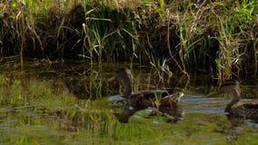 Mergulho do pato do pato selvagem vídeos de arquivo