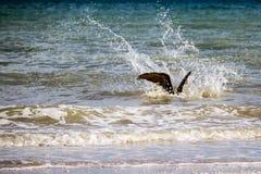 Mergulho do pelicano de Brown no oceano Imagem de Stock Royalty Free