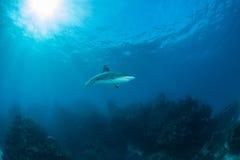 Mergulho do tubarão Imagem de Stock