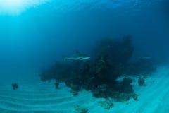 Mergulho do tubarão Fotografia de Stock Royalty Free