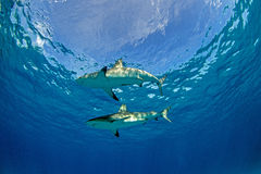 Mergulho do tubarão Fotografia de Stock