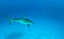 Mergulho do tubarão Imagens de Stock Royalty Free