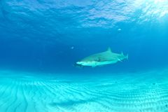 Mergulho do tubarão Imagens de Stock