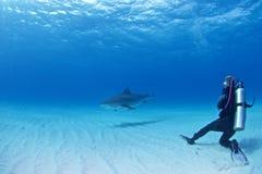 Mergulho do tubarão Fotos de Stock Royalty Free