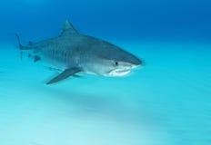Mergulho do tubarão Foto de Stock Royalty Free