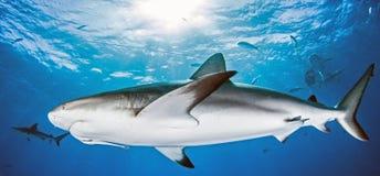 Mergulho do tubarão Imagem de Stock Royalty Free