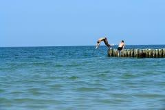 Mergulho fora do cais Foto de Stock Royalty Free