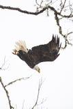 Mergulho selvagem da águia americana de uma árvore Imagens de Stock