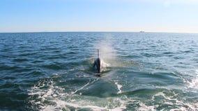 Mergulhos da orca sob a água perto da península de Kamchatka, Rússia fotos de stock royalty free
