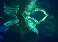 Mergulhos do turtule do mar Imagens de Stock