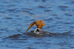 Mergus merganser duck Stock Photos