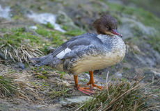 Mergus merganser Royalty Free Stock Image