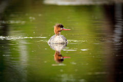 Mergus serrator, Red-breasted Merganser. Royalty Free Stock Photos