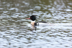 Mergus serrator, Red-breasted Merganser. Royalty Free Stock Images