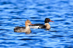 Mergus serrator, Red-breasted Merganser. Royalty Free Stock Photo